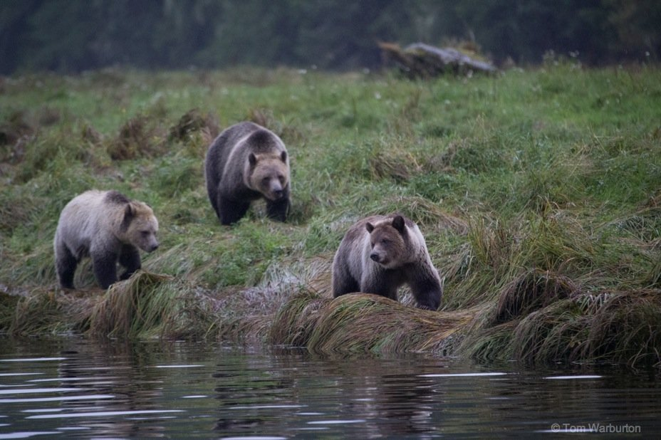 Grizzly Bears of Knight Inlet, British Columbia