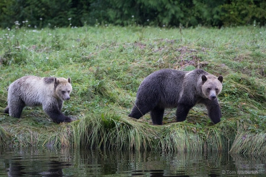 Bear Blog Photo 3 Grizzly Bears of Knight Inlet, British Columbia