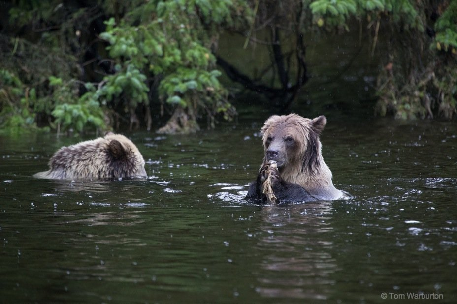 Bear Blog Photo 4 Grizzly Bears of Knight Inlet, British Columbia