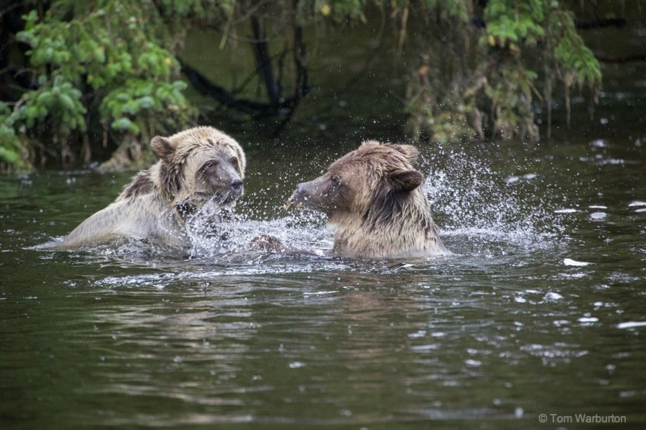 Bear Blog Photo 5 Grizzly Bears of Knight Inlet, British Columbia