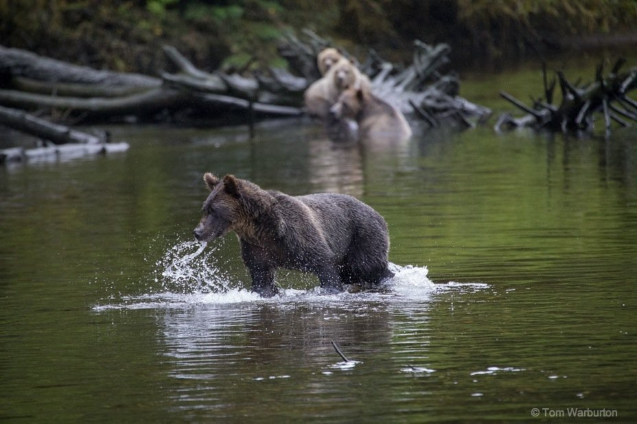 Bear Blog Photo 8 Grizzly Bears of Knight Inlet, British Columbia