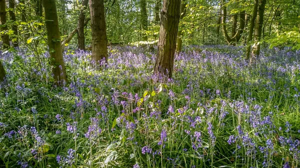 Bluebells_ Calke Abbey Ancient Parkland Walks Through the Seasons