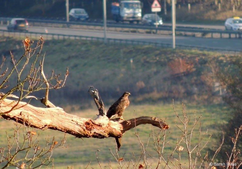 Buzzard- deer spotting