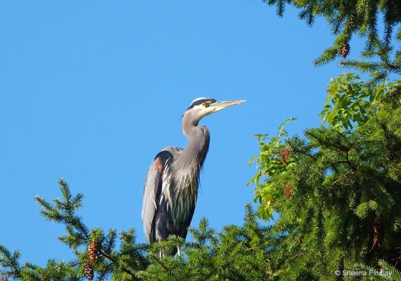 Closer-view-of-the-heron-1-vancouver Stanley Park, Vancouver