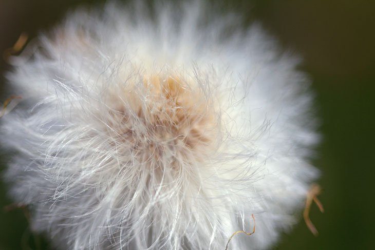 Coltsfoot005 Puff Balls – Poof! – Seeds Are Everywhere