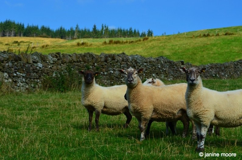 Crazy-Sheep-2-wales The Legend of the Welsh Black Mountains