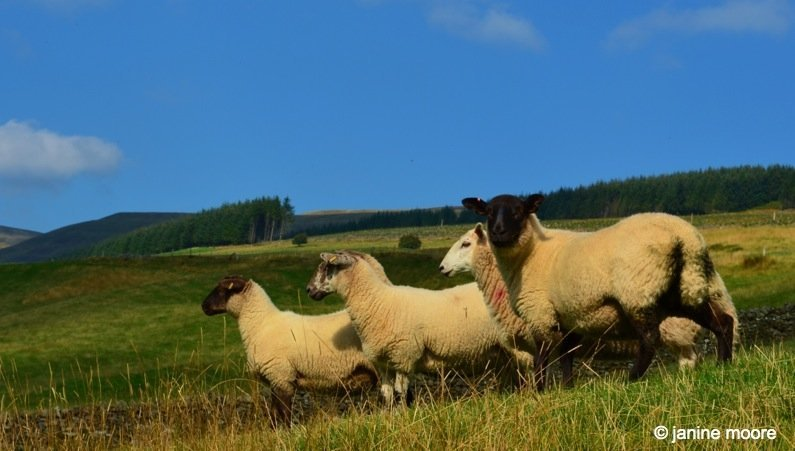 Crazy-Sheep-wales The Legend of the Welsh Black Mountains