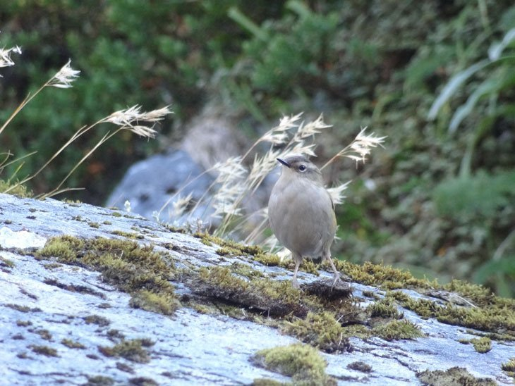 Milford Track Day Two - Rock Wren