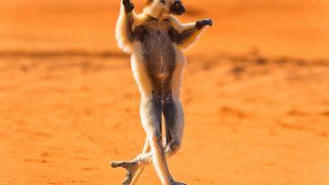 jumping Lemur Madagascar