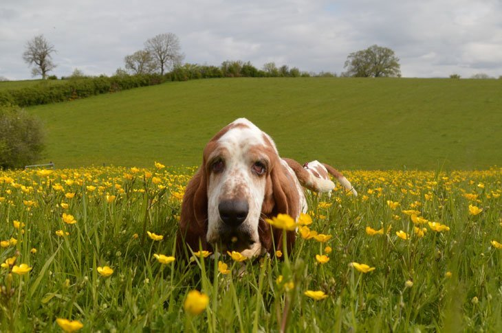 DSC_00511 Basset Hounds and Buttercups