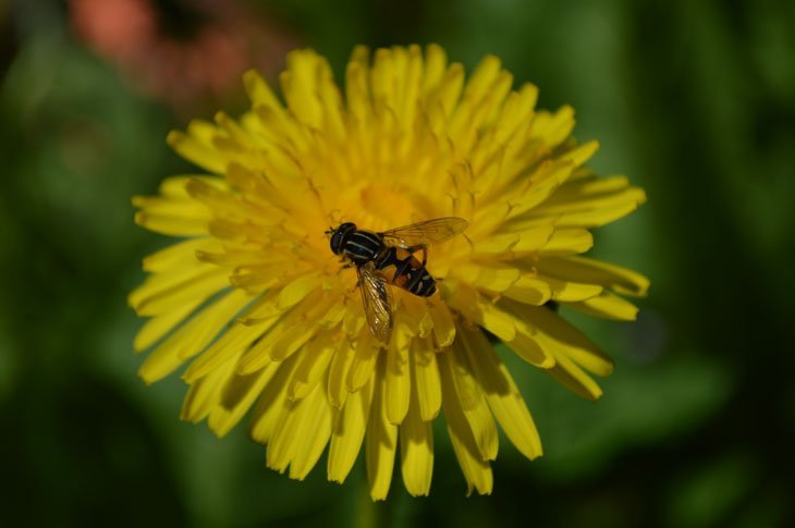 DSC_0119 A Busy Day On The Dandelions