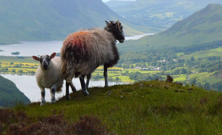 sheep on haystacks