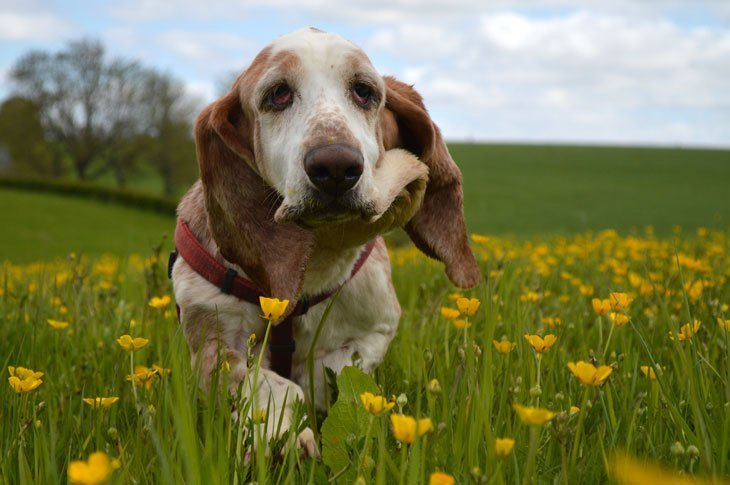 DSC 0227 Basset Hounds and Buttercups