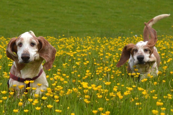 DSC 0352 Basset Hounds and Buttercups