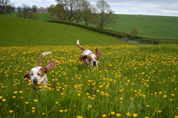 DSC 0357 Basset Hounds and Buttercups