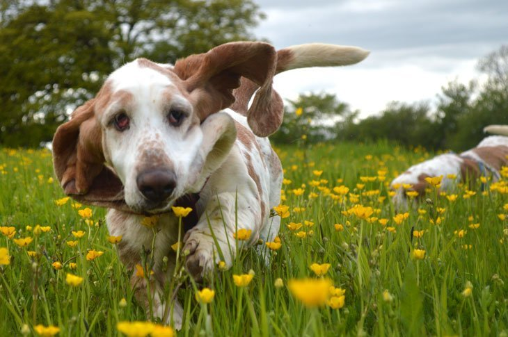 DSC_04331 Basset Hounds and Buttercups