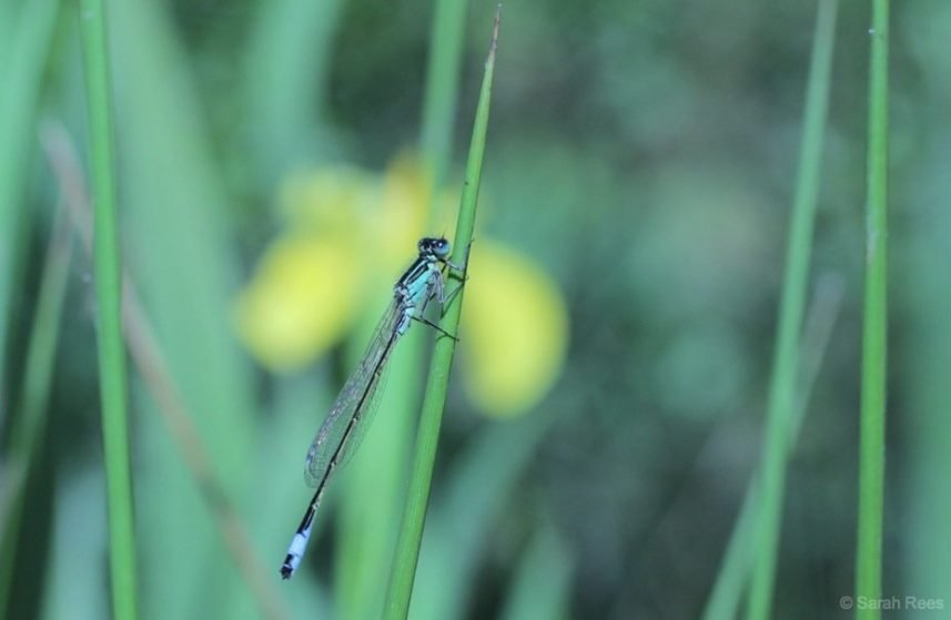 The Dainty Damselfly