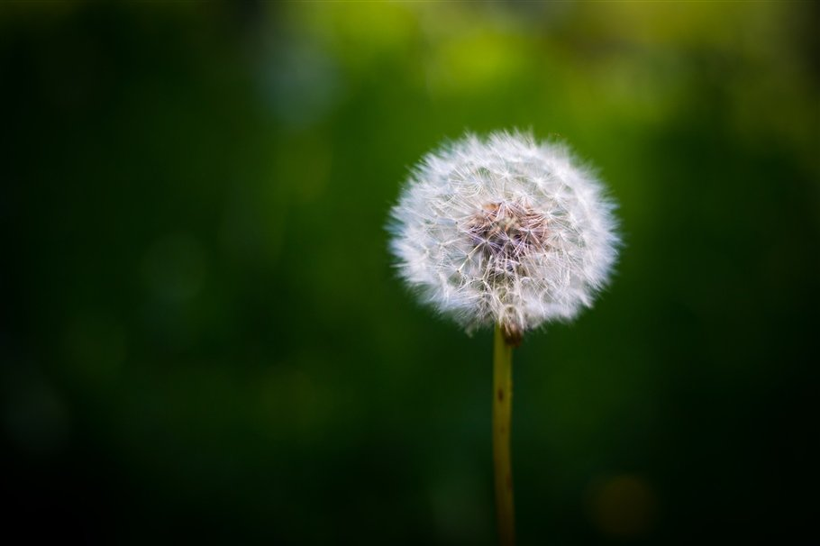 Dandelion (Seed head) - Taraxacum vulgaria- flowers