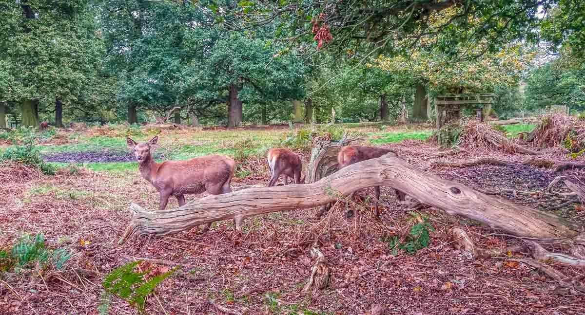 Deer-in-the-Deer-park.-Rutting-season_ Calke Abbey Ancient Parkland Walks Through the Seasons