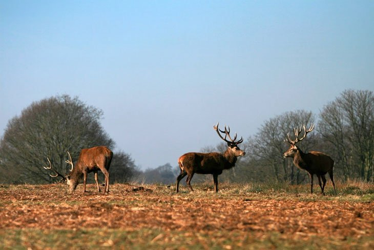 Deer11 The Deer Of Richmond Park