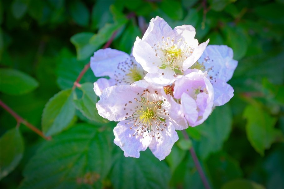 Dog Rose - Rosa canina- flowers
