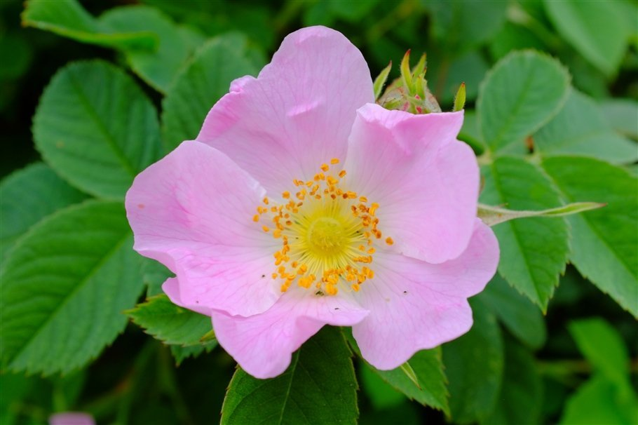 Dog-Rose-Rosa-canina-image-2-flowers Wildflower Wanders in the Eden Valley