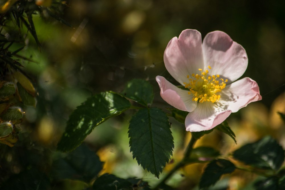 Dog-Rose Walthamstow Wetlands: Wild London