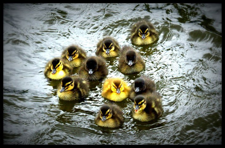Ducklings Live And Love A Passion For Photography
