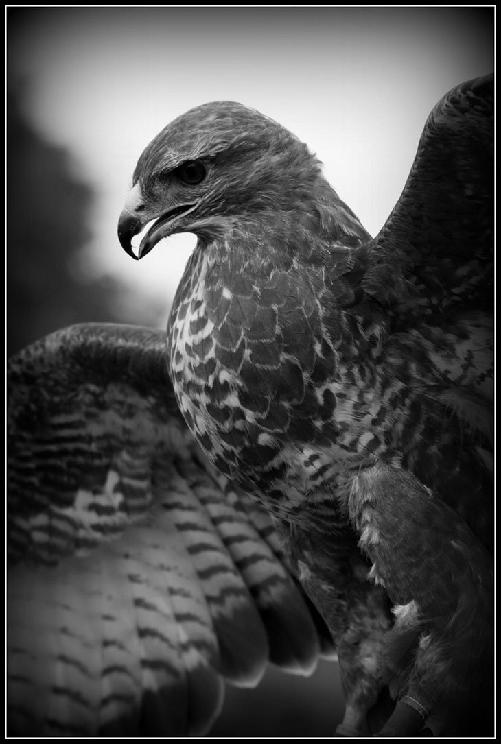 Eagle 2 live and love a passion for photography again another dramatic black and white