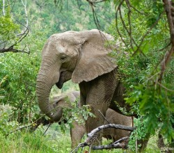 Elephant-with-her-calf-at-Pilanesberg-National-Park-Fav.'s0012- south africa