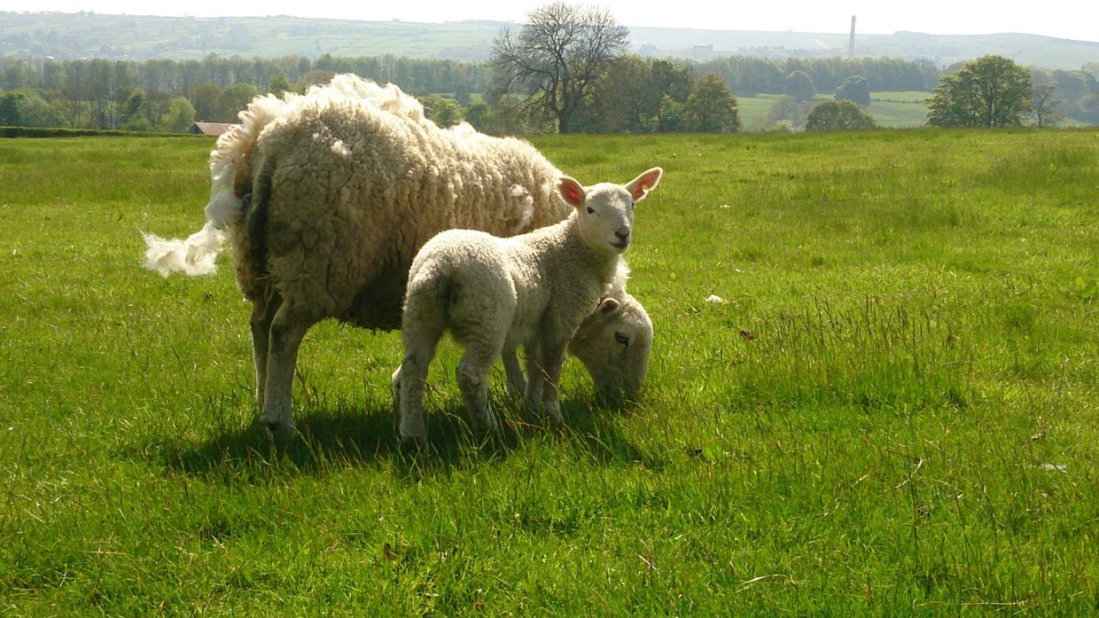 Ewe-and-young-lamb-near-Hope-Station1 Hope Valley Circular Via Bamford Village