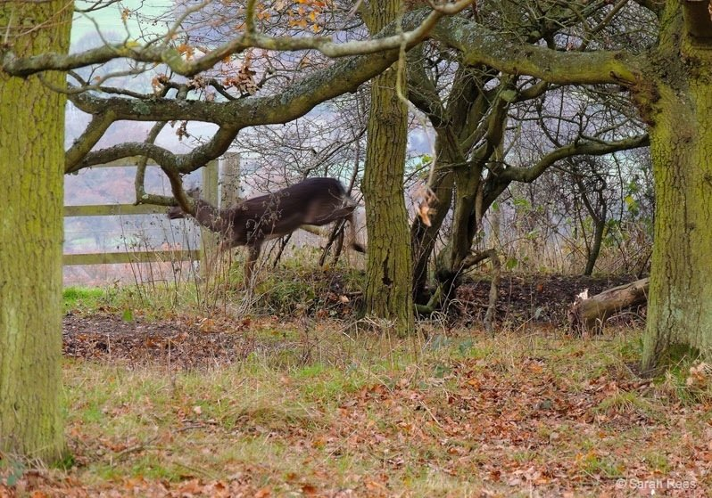 Deer spotting in Epping Forest