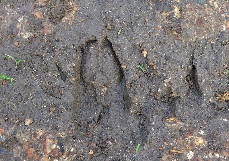 Fallow-Deer-track- deer spotting
