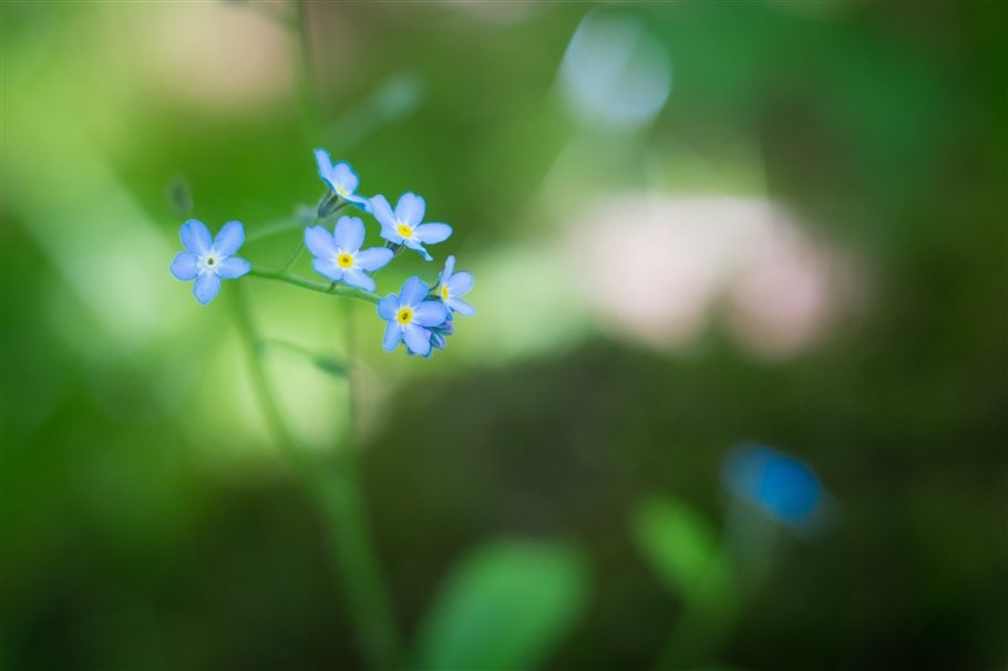 Field Foregetmenot - Myositis arvensis- flowers
