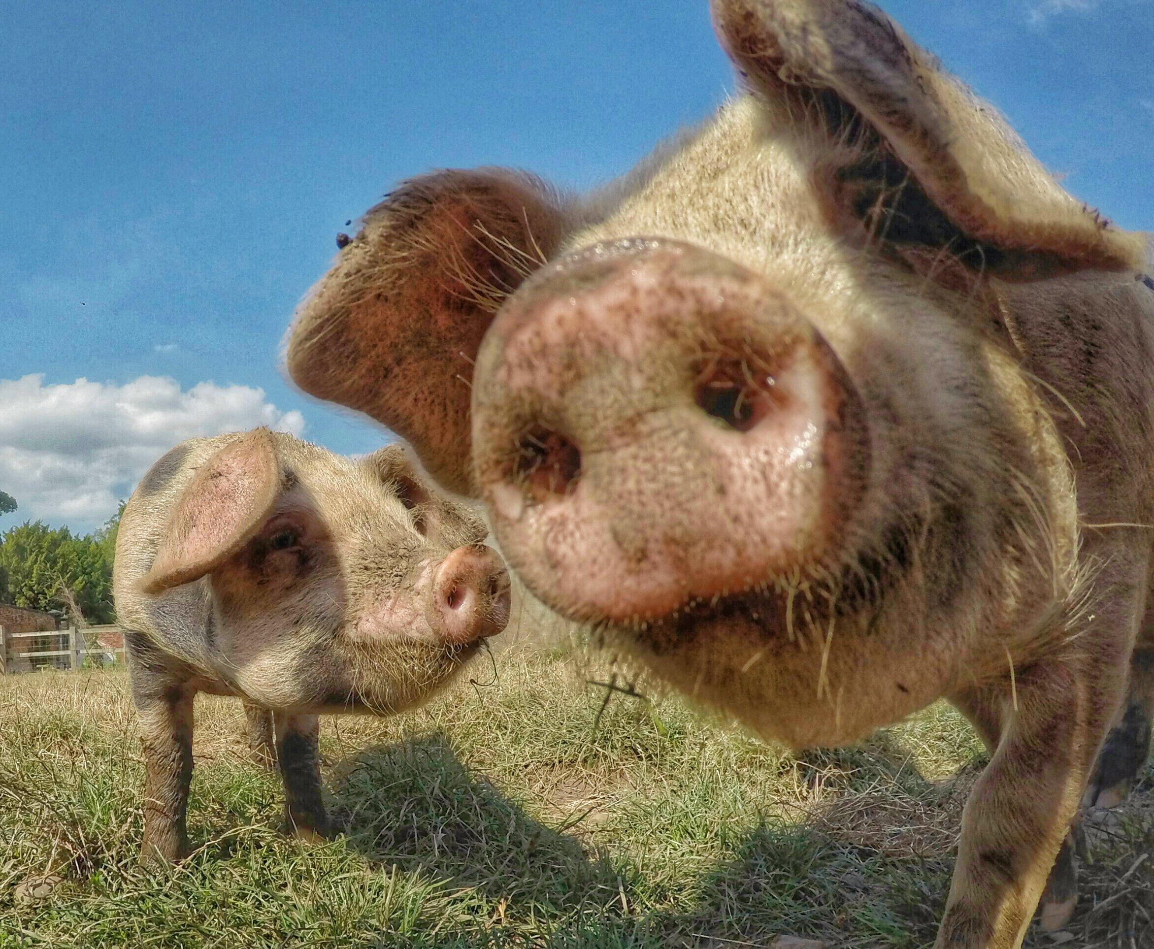 Pigs at Shugborough