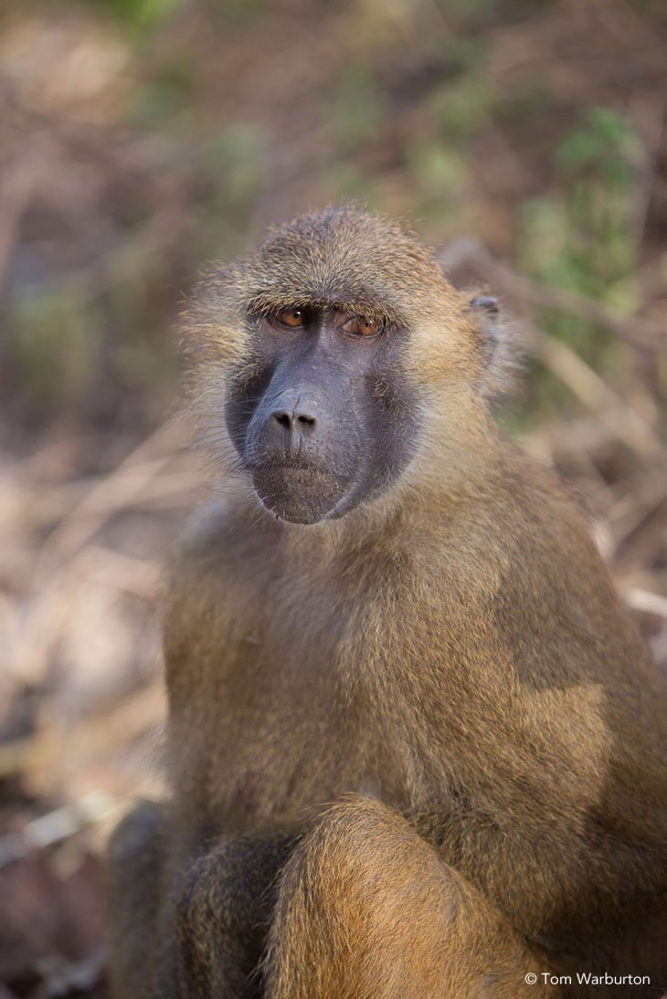 Gambia - Baboons and Birds