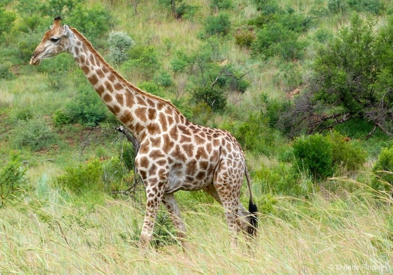 Giraffe-at-Pilanesberg-National-Park-Fav.s0027-south-africa South Africa – Pilanesberg Game Reserve and National Park