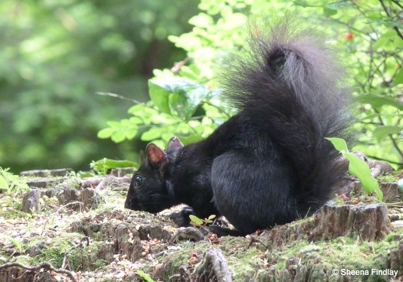 Black Squirrels and Birds of Stanley Park, Vancouver 1