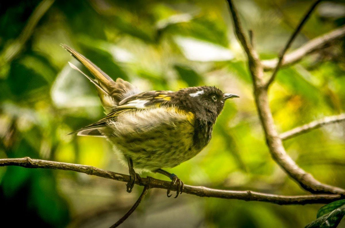 Hihi Pukaha Mount Bruce: National Wildlife Centre, New Zealand