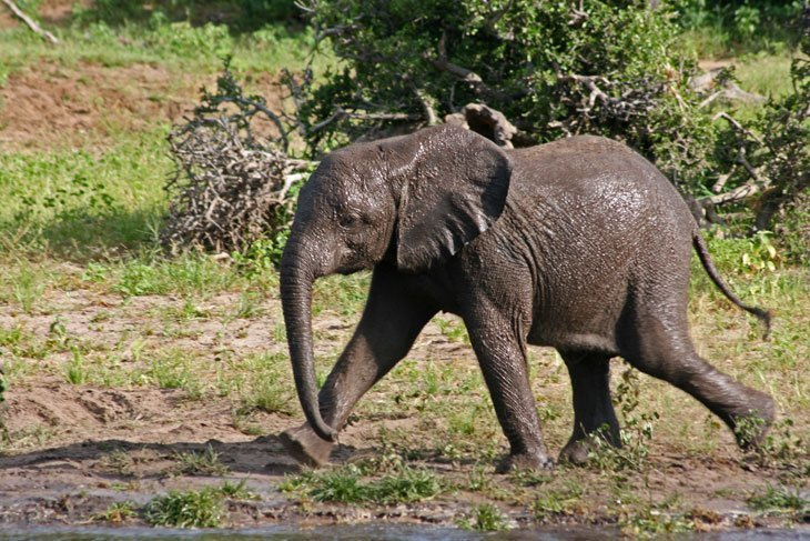Botswana – The Elephants of Chobe National Park