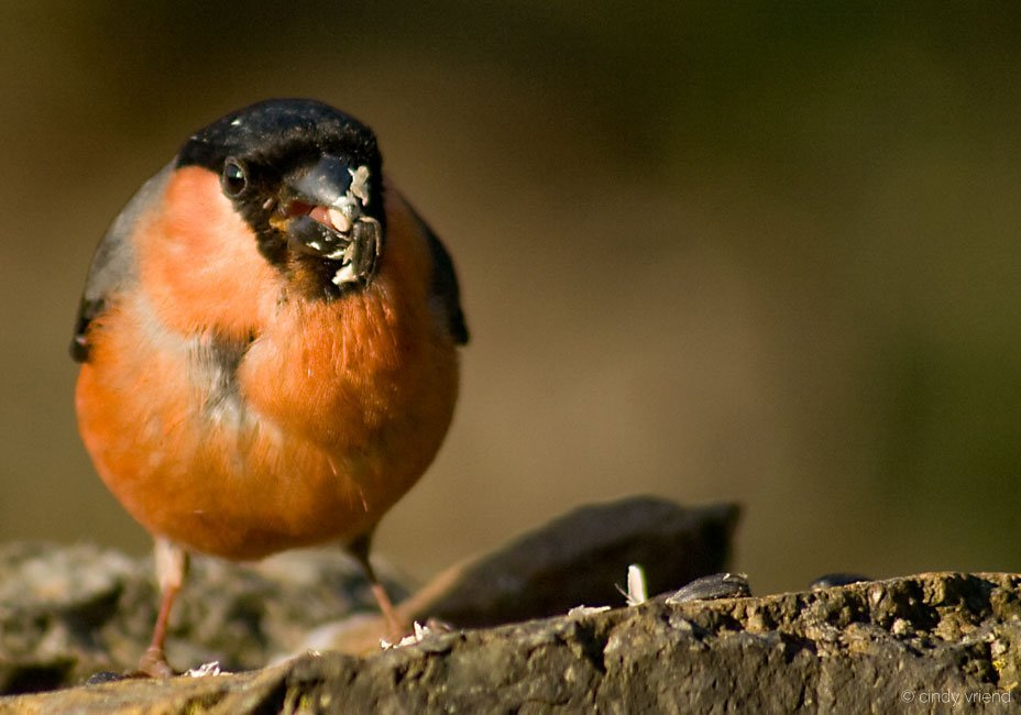 The hungry Bullfinch