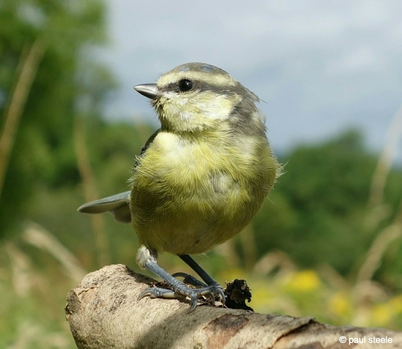 The young and happy Blue Tit