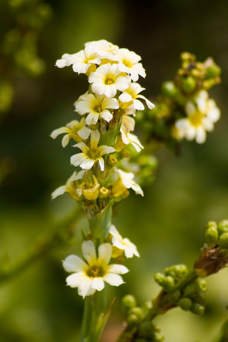 yellow peto flower