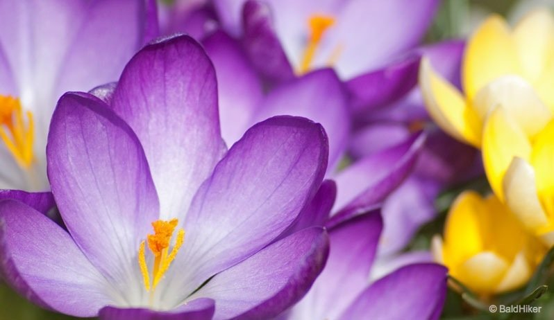 The Crocus - An early celebration of Spring