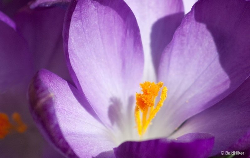 IMG_33611 The Crocus – An early celebration of Spring