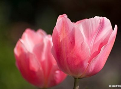 From Turkish Tulip to Dutch Icon