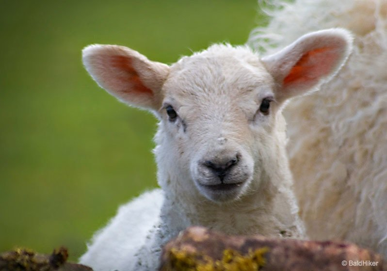 The Charm of The Lambs