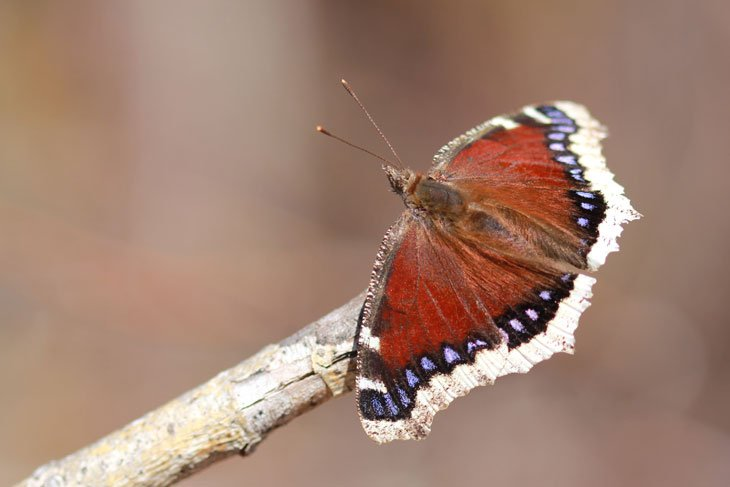 IMG_9130_Mourning_Cloak Taking A Closer Look – The Magic of Macro Photography
