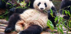 It's-tough-eating-this-Bamboo- Chengdu