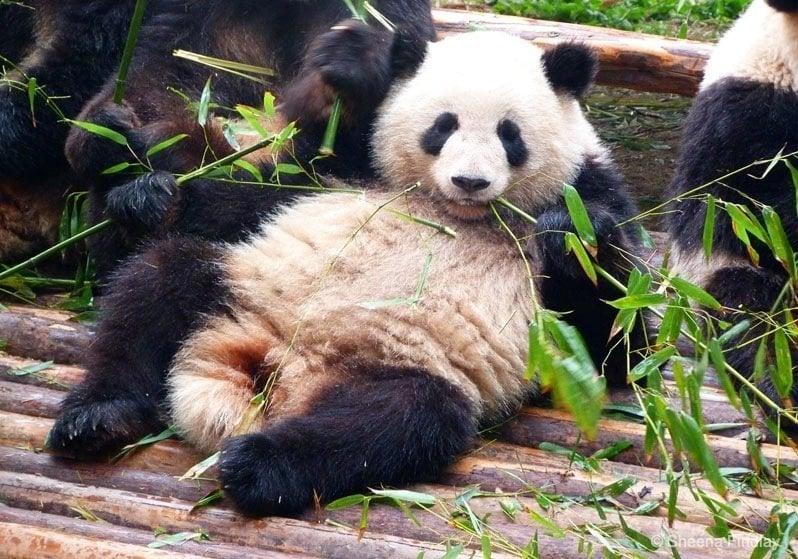 Chengdu Research Base of Giant Panda Breeding 1